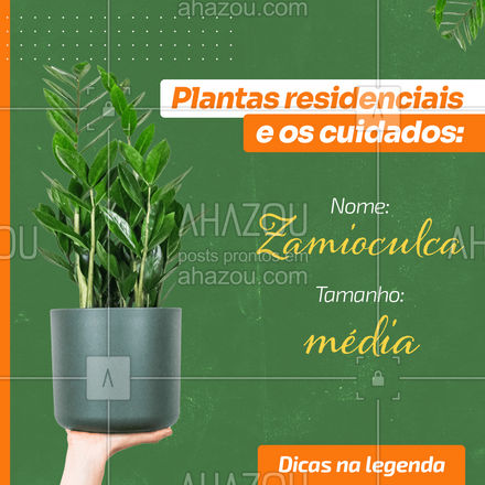 Seu nome pode ser complicado, mas essa é uma planta perfeita para ambientes com pouca iluminação e jardineiros despreocupados. Ela é resistente e se adapta a diferentes locais. Uma ótima escolha para casas e escritórios, possui caules fortes e folhas verdes em um tom que parecem brilhar. A rega dessa planta deve acontecer uma vez por semana ou dependendo da estação uma vez a cada 15 dias. #dicas #decoração #plantas #AhazouDecora #AhazouArquitetura #homedecor
