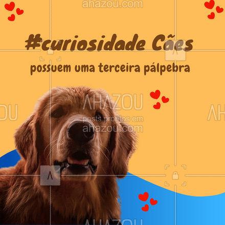 Membrana nictitante é o nome da terceira pálpebra dos cães. É uma cartilagem em forma de T, que ajuda a limpar os olhos do pet, removendo o muco dos globos oculares. Também é importante para a produção de lágrimas e lubrificação dos olhos caninos. Você sabia disso???  #AhazouPet #curiosidade #curiosidadepet #pet #petsofinstagram #petlovers #cachorros #cães #lagrimas #olhos