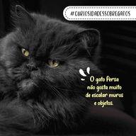 O gato Persa, apesar de muito fofo, pode ser um pouco preguiçoso. Ele não gosta muito de brincadeiras agitadas e não costuma escalar as coisas, preferindo ficar no chão. Mas isso não tira o seu charme, ele é um gato carinhoso e tranquilo. E aí, deu até vontade ter um gatinho Persa, né? 🤗🐱 #curiosidadessobregatos #raçasdegatos #gatos #vocêsabia #persa #gatopersa #AhazouPet #ilovepets  #petlovers  #cats  #petoftheday